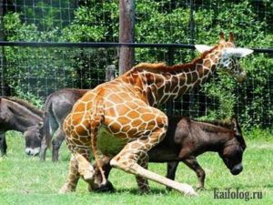 Приколы про жирафов