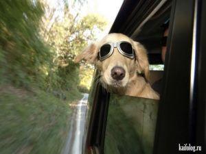 Скоростные собаки