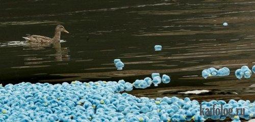 Резиновые утки захватили Англию (7 фото)