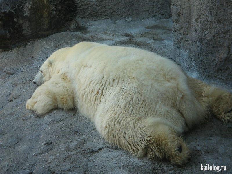 Объевшийся медведь картинки