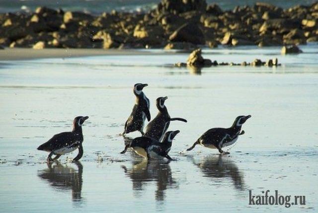 Приколы про пингвинов (30 фото)