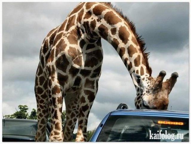 Приколы про жирафов (20 фото)