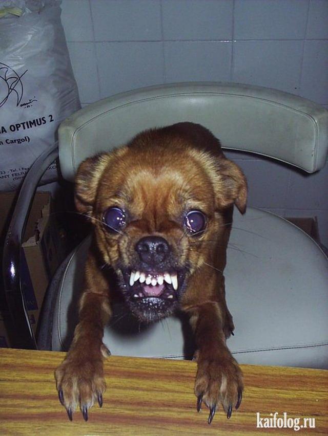 Приколы про собак. Часть-2 (35 фото)
