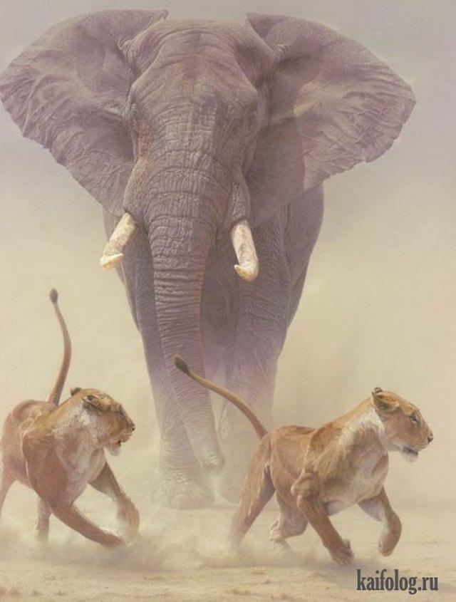 Приколы про слонов. Часть-3 (40 фото)