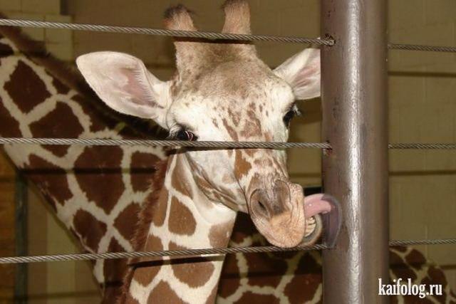 Прикольные жирафы (50 фото)