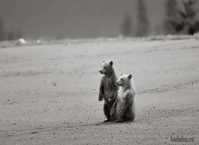 Прикольные мишки от Николая Зиновьева (16 фото)