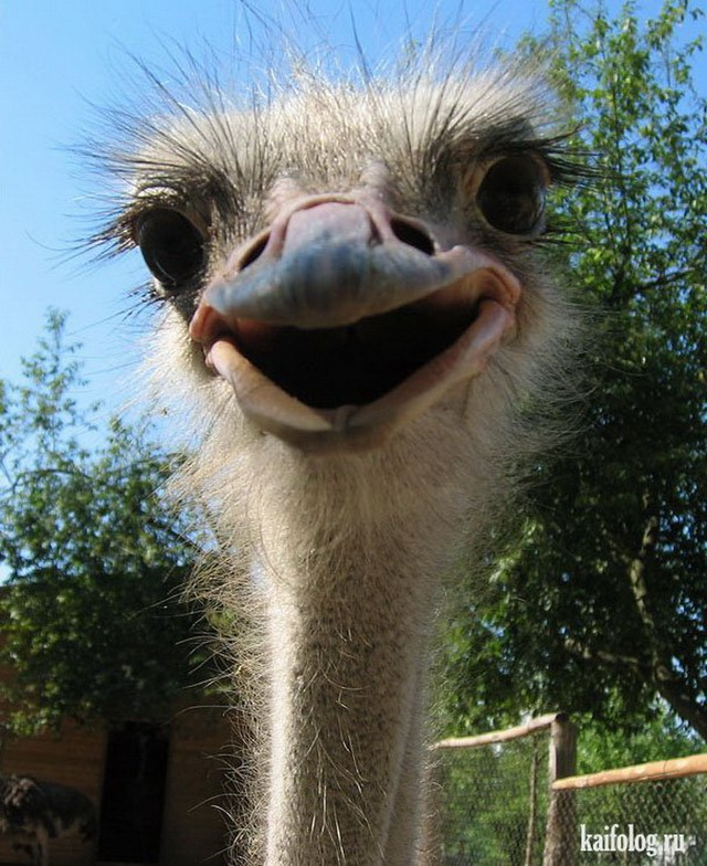 Funny ostrich with teeth