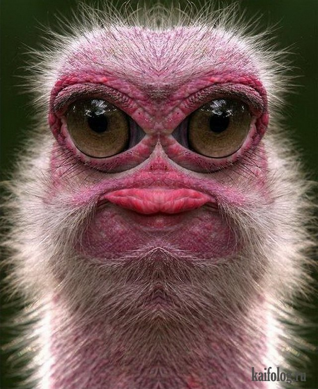 Прикольные страусы (50 фото)