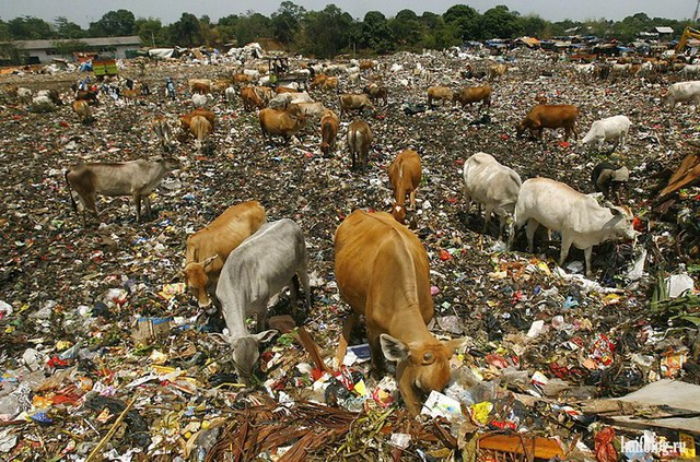 Прикольные коровы (60 фото)