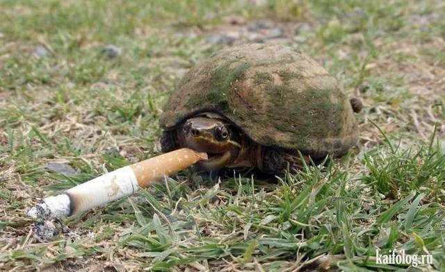 картинка курящего черепашки предварительным данным