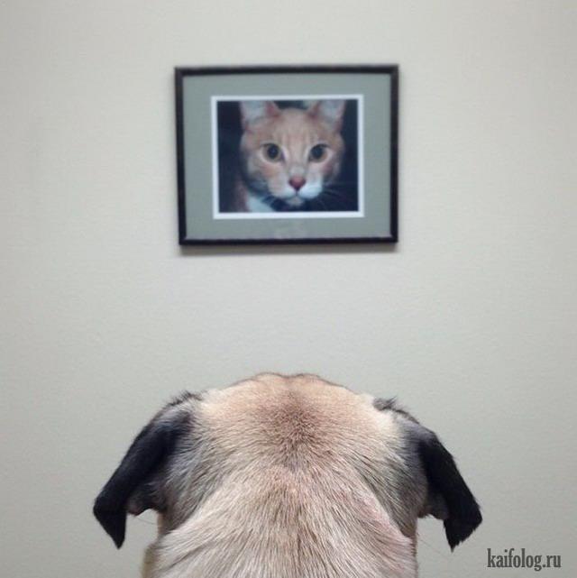 Смешные мопсы (50 фото)