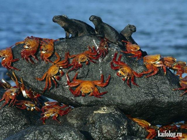 Игуаны, агамы, вараны, хамелеоны и пресмыкающиеся (55 фото)