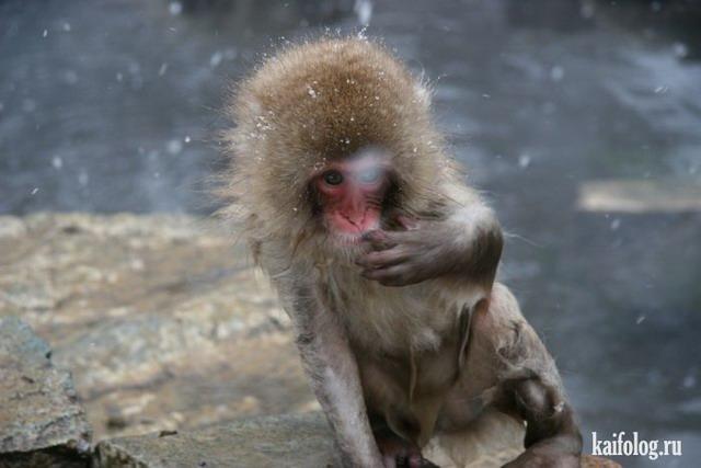 Снежные обезьяны (50 фото)
