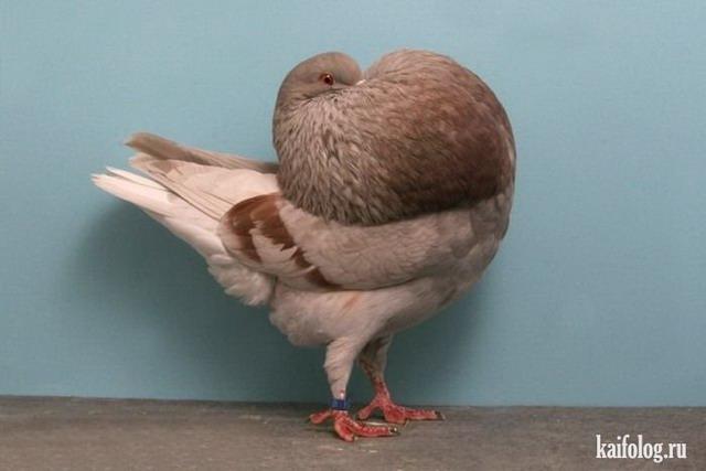 Голуби (60 фото)