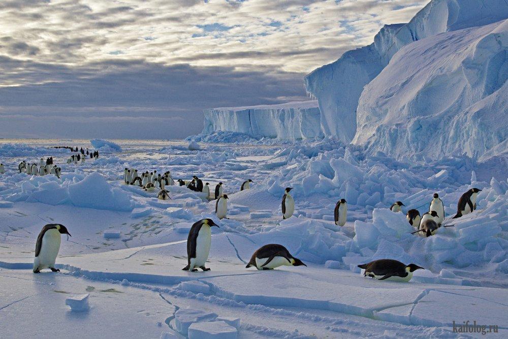 будет животные арктики фотографии животных антарктиды интернет