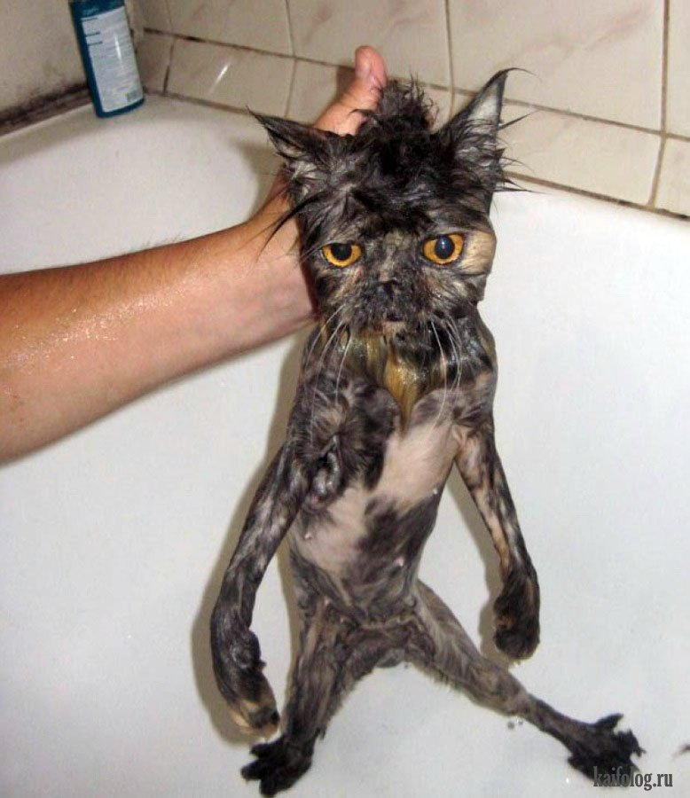 фокус мокрые кошки смешные фото органы дыхательной