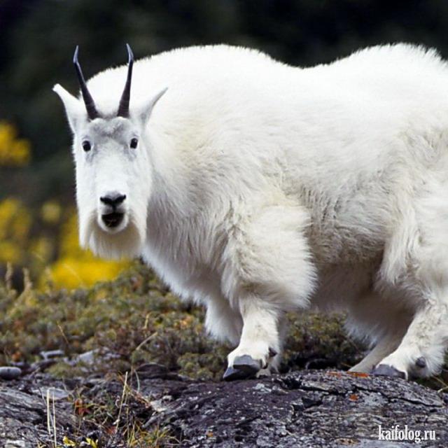 Ты козёл (55 фото)