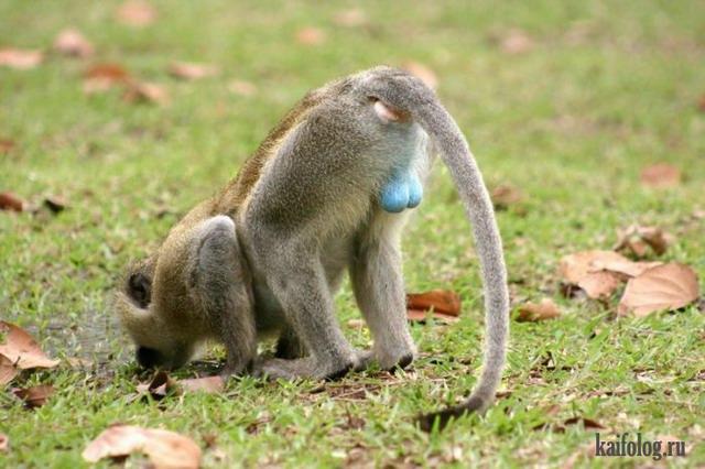 Дарвин был прав или человек произошел от обезьяны (75 фото)