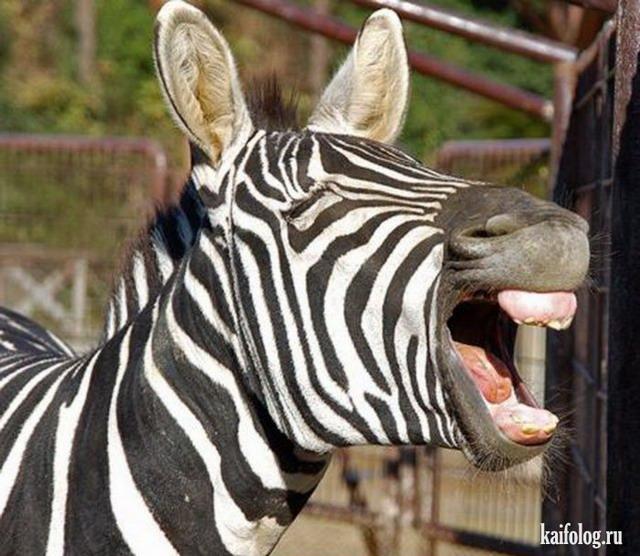Зебры (35 фото)