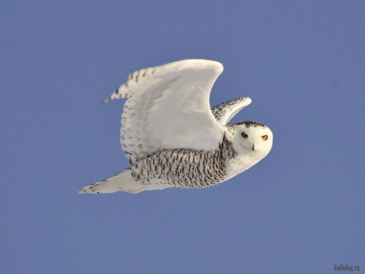 нас белая сова севера при приземлении фото каштан