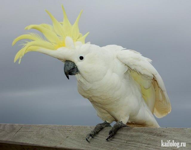 Хардовые попугаи (3 видео)