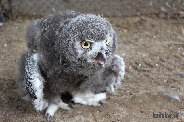 Полярная сова (35 фото)
