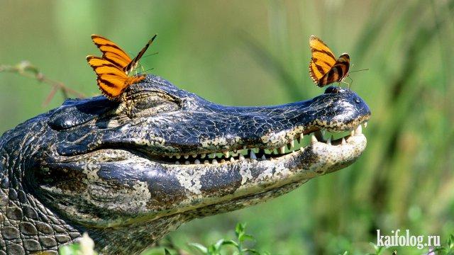 Крокодилы (40 фото)