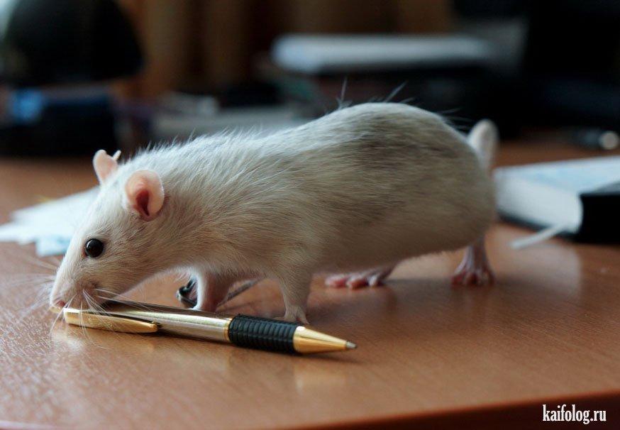 отмечают, офисная крыса картинки предлагают множество разновидностей