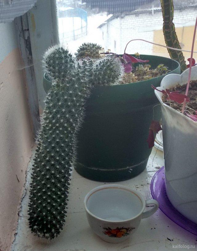 Прикольные кактусы (45 фото)