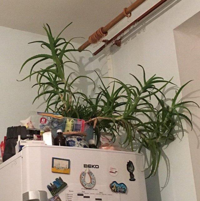Самые уродливые комнатные растения (40 фото и текст)