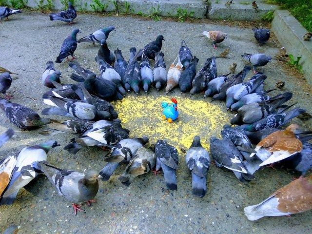 Вездесущие голуби (45 приколов)