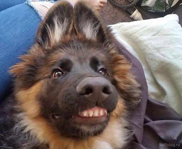 Собаки-улыбаки (35 фото)